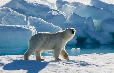 Probe launched after polar bear wounded by firecracker in Russian Arctic